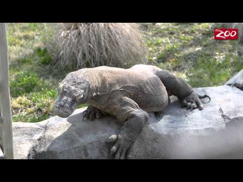 Komodo gets a leg up with Zoo help