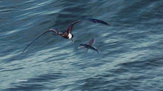 Frigate Birds HATE Getting Wet - ANIMALPLANETTV