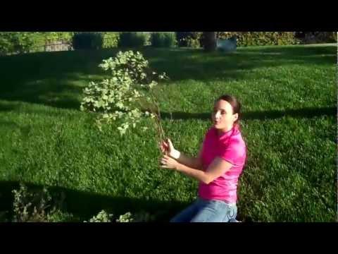 (* MANZANITA BRANCHES *) Learn How to Buy Manzanita Branches Wholesale