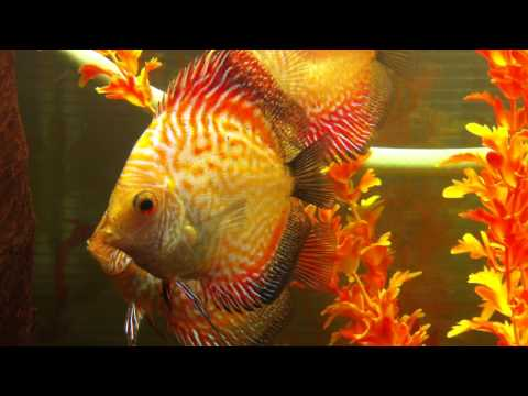 Discopet, peces disco variedad sangre de pichon piel de víbora de 3