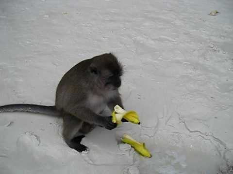 pics of monkeys eating bananas. Greedy monkey eating bananas