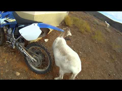 Sheep scratches its ass against my bike