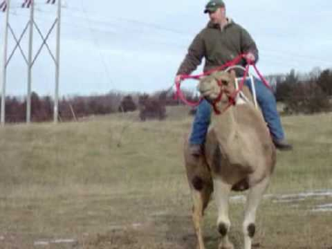 Camel Rein Riding Training by MW Animal Attractions