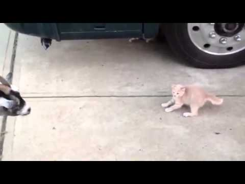 Kitten VS Baby Goat! First Time Meeting! Epic Animal Video!