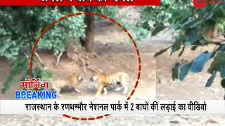 Video of fight between a Tiger and a Tigress at Ranthambore National Park goes viral - ZEENEWS