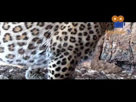 Persian leopard Documentary HQ مستند در جستجوی پلنگ ایرانی
