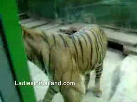Amazing Thailand - Sri Racha Tiger Zoo