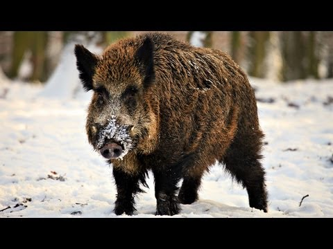 MONSTER Wild Boar Hunt in Hungary