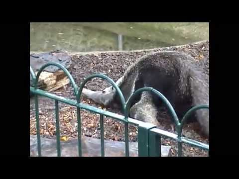 Giant Anteater Going Crazy