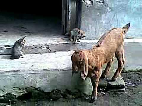 Kambing dan dua kucing lucu