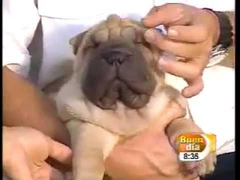 El Parvovirus o parvovirosis canino. Perros enfermos.