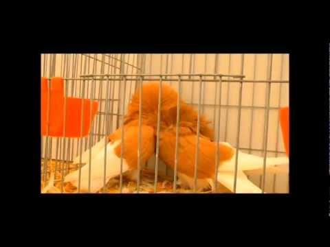 Mejores razas de palomas,asociación la pinina,exposición de Vegadeo 2012