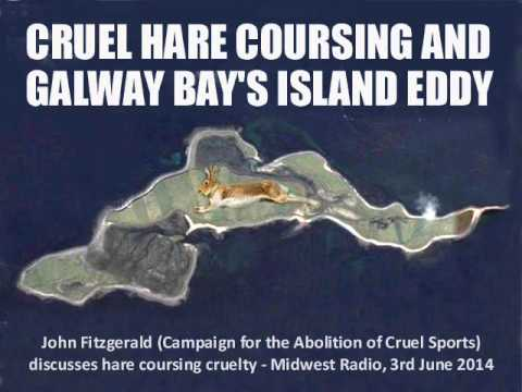 Cruel hare coursing and Galway Bay's Island Eddy
