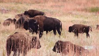 Meet The Folks Behind South Dakota's Annual Bison Roundup | NBC Nightly News - NBCNEWS