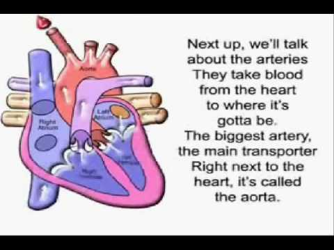The Circulatory Song!