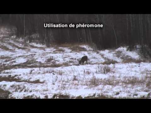 Test 1  sur les phéromones femelle chevreuil / réaction d'un mâle