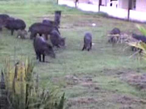 porco do mato