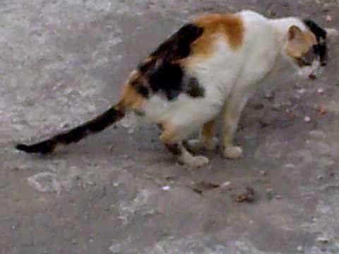Kucing mencret (Cat diarrhea)