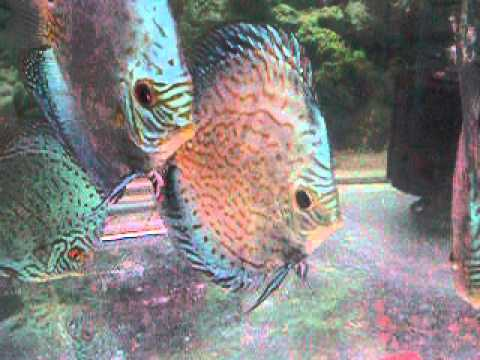 sunny discus in hong kong china discus aquarium fish farm  ()
