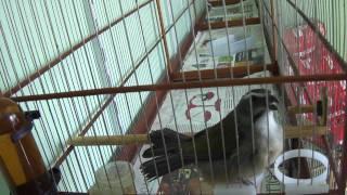 O Rei da velocidade Ciclone Mais um filho do RAMBO 102 cantos em 5 minutos view on youtube.com tube online.