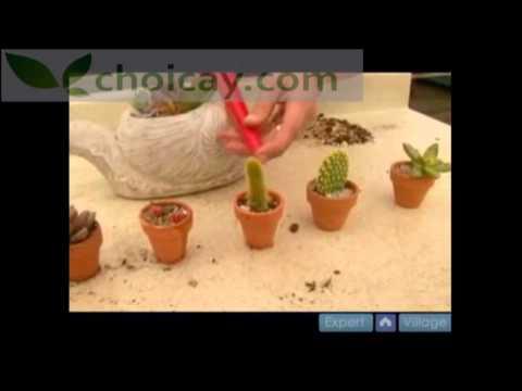 Hưỡng dẫn trồng và tưới nước cho cây xương rồng - http://choicay.com