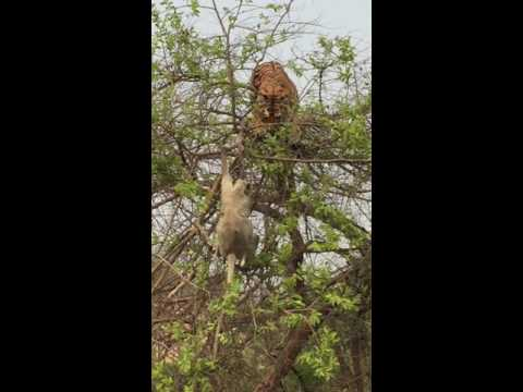Tiger fall from tree chasing monkey