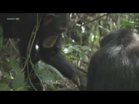 [10/10] Life BBC - primates 5/5