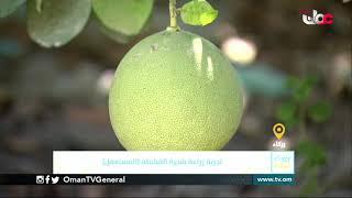 ربط مباشر من ولاية الرستاق بمحافظة جنوب الباطنة للحديث حول تجربة زراعة شجرة القشطة (المستعفل)