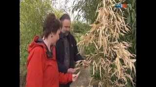 Mdr Garten Bambuspflanzen Nach Dem Winter Bambuspflege Www