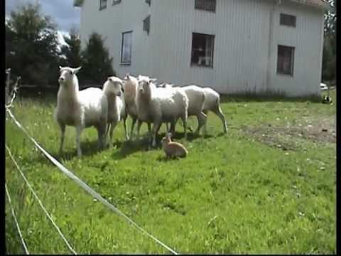 Zec koji čuva ovce