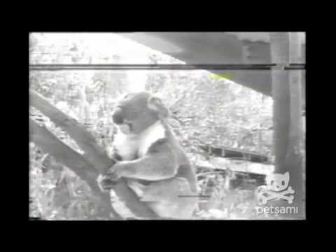 Just some old video footage of a sneezing koala