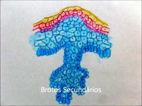 Embriologia - Da 1ª a 4ª semana, Sistema tegumentar e musculo-esqueletico.wmv