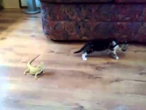 Gato asustado por lagartijas