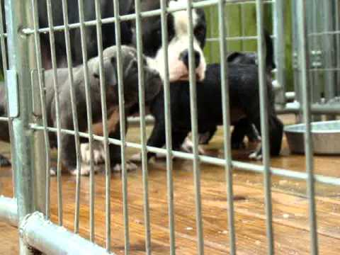 THIRD COAST BULLIES..2x Miagi Pups..Bellagio x Griselda Blanco