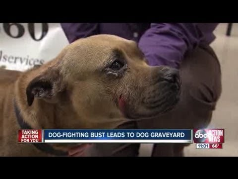 dog fighting ring leads to doggie graveyard