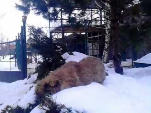 Щенки кавказской овчарки/ Caucasian Shepherd Dog, 3 месяца