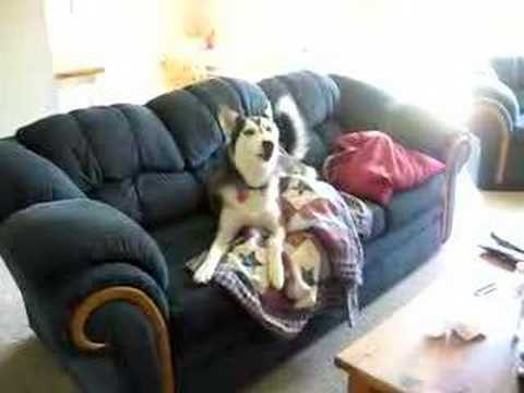 Husky nechce ísť z gauča, pretože pozerá telku