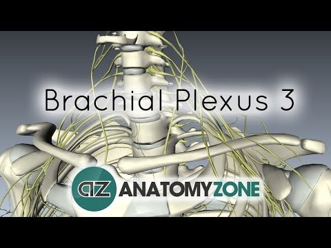 Brachial Plexus - Terminal Branches - Anatomy Tutorial