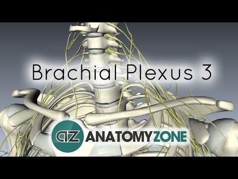 Brachial Plexus - Terminal Branches - Anatomy Tutorial
