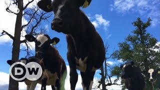 The cost-effective cattle of Los Lagos | DW English - DEUTSCHEWELLEENGLISH