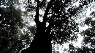 Kodaikanal – 500 Years Old Tree In Kodaikanal – Must Watch