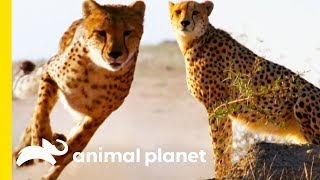 How Do Cheetahs Run So Fast? | How Do Animals Do That? - ANIMALPLANETTV