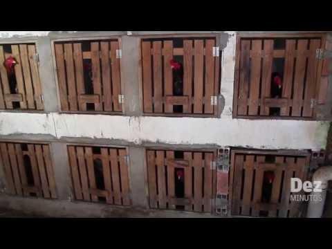 Polícia desarticula 'Rinha de Galo' no Santa Etelvina