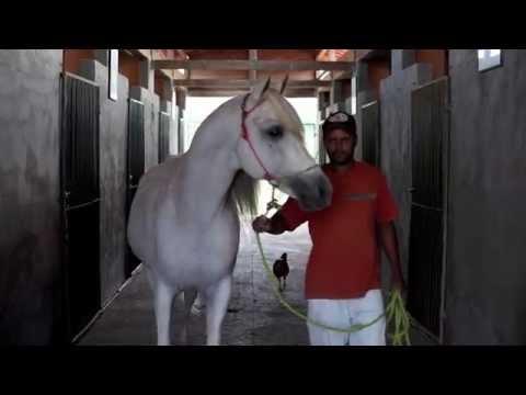 Cavalos árabes no sertão pernambucano-Passupreto Imageria