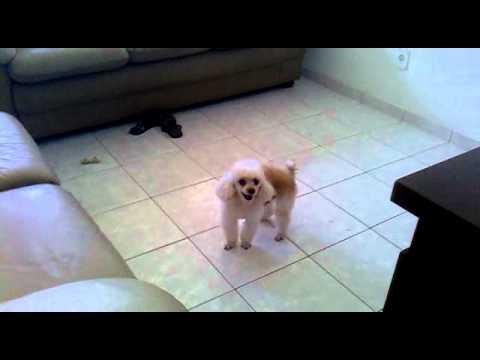 Videos engraçados Não comprem um cachorro poodle