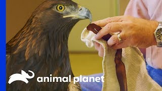 How To Safely & Successfully Catch A Golden Eagle | The Zoo - ANIMALPLANETTV