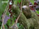 Mouldy Sloth: Amazing Animals - Amazon Assassin - BBC wildlife