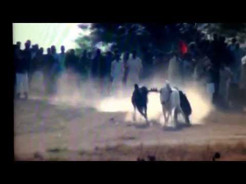 Bull race pakistan  2013 2014