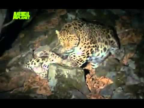 THE LAST LEOPARD (2008) part 5 of 5  critically endangered Amur Leopard