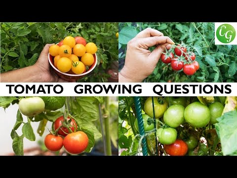 Your Tomato Growing Questions Answered - Tips For Growing Great Tomatoes